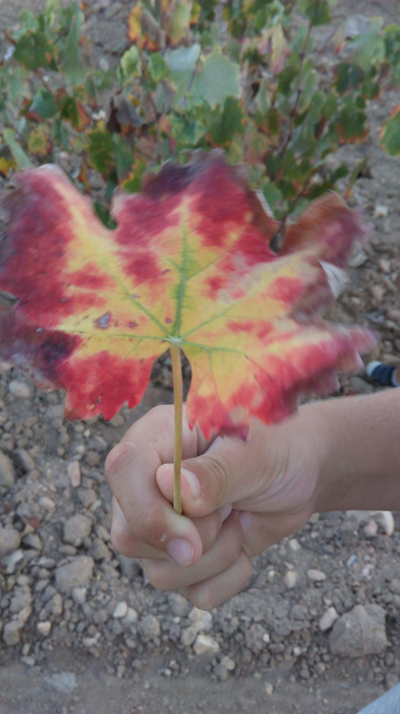 colores de otoño en hoja de vid